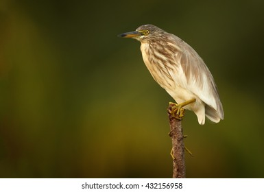 Isolated, close-up Indian Pond-heron, Ardeola grayii in mating season, perched on stake in water in colorful late afternoon sun against abstract green background. Sri Lanka.