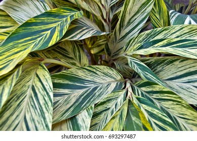 isolated closeup of light Green Leaves growing on ornamental plants