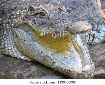 Isolated Closeup Picture of Alligator Crocodile With Jaw Open Mouth