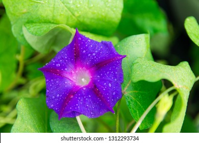 Isolated Closeup shoot of beautiful Morning Glory (ipomea) - Grandpa Ott, isolated purple flower with water drops, green leaves in the background