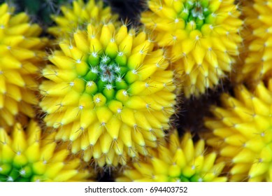 isolated closeup of yellow green cactus indoor plant