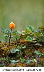 Isolated cloudberry  (Rubus chamaemorus) in Lapland, Finland