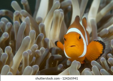 An isolated clown fish looking at you in Cebu Philippines