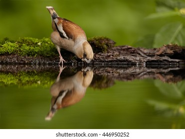 Isolated Coccothraustes coccothraustes bathing in forest pond, sitting water against  mossy bark green background. Female of Hawfinch, songbird with huge beak mirroring in water. Hungary