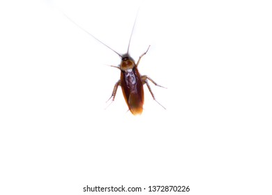 isolated of cockroach