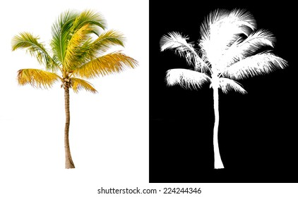 Isolated coconut palm tree with alpha channel.