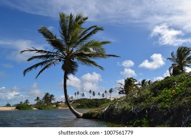 Isolated coconut tree by lake