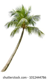 Isolated Coconut Tree On White Background.