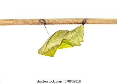 Isolated cocoon of common birdwing butterfly on white with clipping path