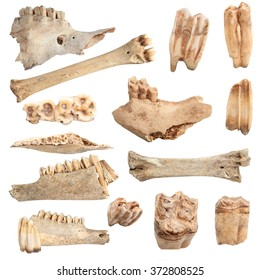 isolated collection of different animal bones, over white background; these are from animals hunted and eaten by cavemen long time ago