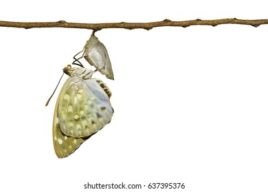 Isolated Common Archduke butterfly emerged from chrysalis ( Lexias pardalis jadeitina ) hanging on twig with clipping path