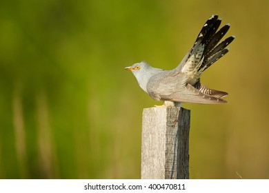 Isolated Common Cuckoo, Cuculus canorus with outstretched tail, perched on  old joist in late spring against blurred green and brownish reed bed in background. Czech republic, Europe.