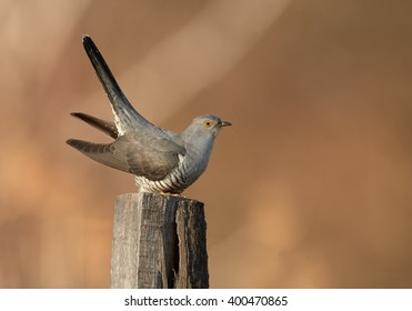 Isolated Common Cuckoo, Cuculus canorus with erected tail, perched on  old joist in late spring against blurred brownish reed bed in background. Czech republic, Europe.