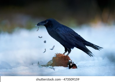 Isolated Common raven, Corvus corax, all black, intelligent bird feeding on pheasant prey. Falling feathers, ground covered in snow, winter forest.