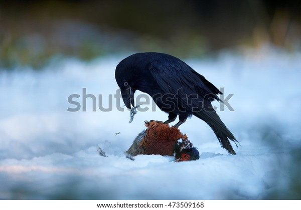 Isolated Common raven, Corvus corax, all black intelligent bird feeding on pheasant prey. Falling feathers, ground covered in snow, winter forest.