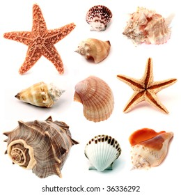 """isolated conchs, seashells and starfish, including """"kings crown"""" seashell, """"pink murex"""" seashell and """"Pisaster ochraceous""""starfish in back and front view"""