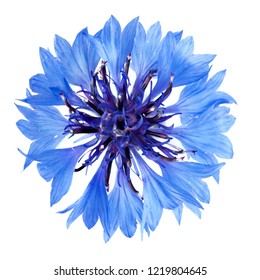 isolated cornflower blue on a white background, photographed in natural light, selective depth of field