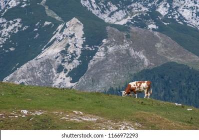 Isolated cow grazing on the edge of Velika planina (Big Pasture Plateau), Kamnik, Slovenia