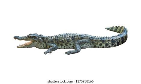 isolated crocodile on white background