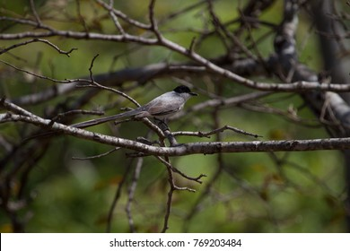 Isolated Cute bird. Fork-tailed Flycatcher perched on a branch of black pine against blurred background. Brasilia, Brazil.
