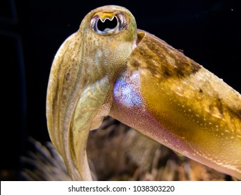 Isolated Cuttlefish in a dark background. Close-up of big eye and tentacles.
