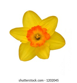 Isolated daffodil