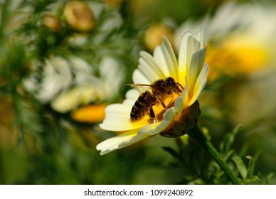 Isolated daisy in foreground and bee collecting pollen inside