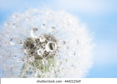 Isolated dandelion with dew on blue sky background. Close-up of dewdrop on the head of dandelion. Purity and blooming.