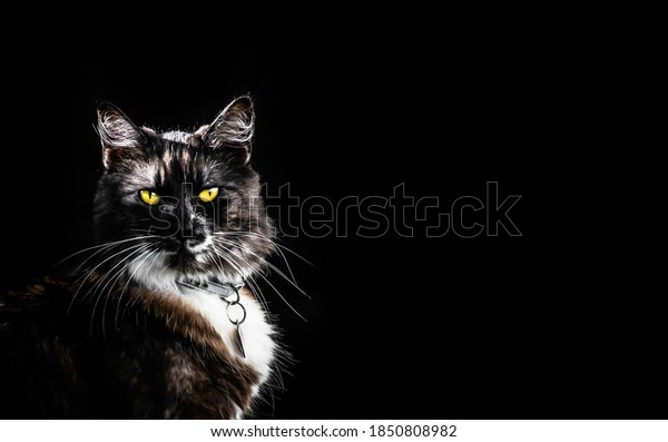 Isolated dark picture of crossbreed cat with bright yellow eyes. Don't buy- adopt concept. Copy space available.