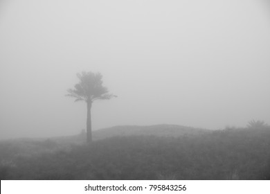 Isolated Dates Tree in Foggy Morning in Abu Dhabi, UAE