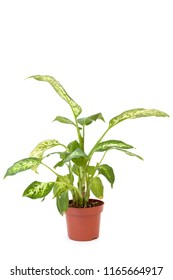 Isolated diffenbachia in brown pot on white background. Home and garden concept.