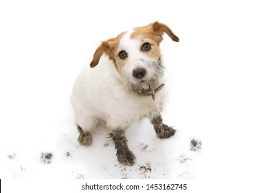 ISOLATED DIRTY AND GUILTY  JACK RUSSELL DOG, AFTER PLAY IN A MUD PUDDLE WITH PAW PRINTS  AGAINST  WHITE BACKGROUND. FROM ABOVE.