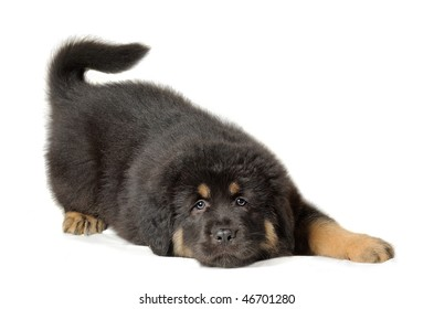 Isolated dog. Black tibetan mastiff puppy lies looking at camera playfully wagging its tail over white background