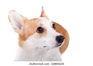 isolated dog confused on white background