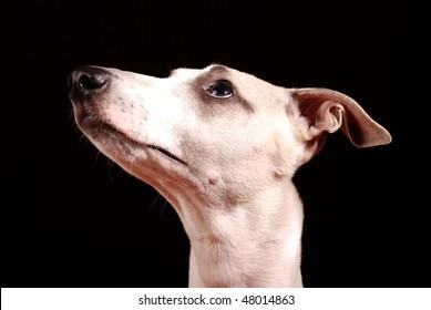 isolated dog head