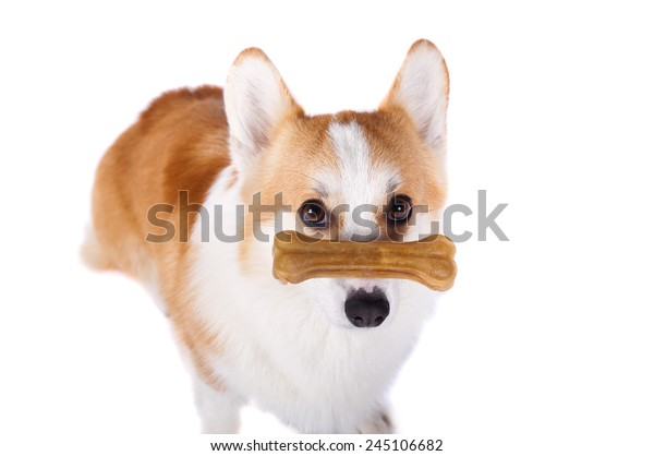 isolated dog sitting on white background with a bone on his nose