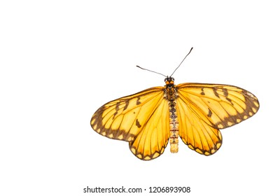 Isolated dorsal view of yellow coster butterfly ( Acraea issoria ) with clipping path, growth , metamorphosis