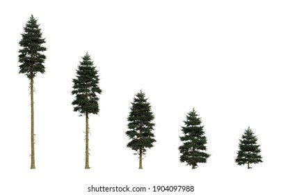 Isolated Douglas firs of different ages