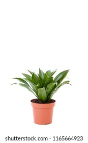 Isolated dracaena in brown pot on white background. Home and garden concept.