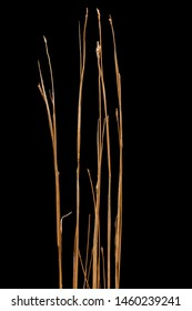 Isolated dried little bluestem midwest prairie plant.