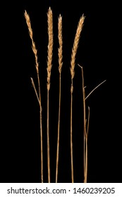 Isolated dried midwest prairie grass.