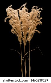 Isolated dried midwest prairie plant.
