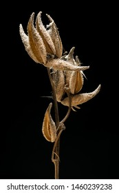 Isolated dried Milkweed midwest prairie plant.
