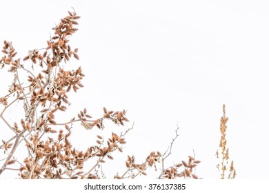 Isolated dry thistles in winter. Dry brown thistles, meadow in winter time and white background.