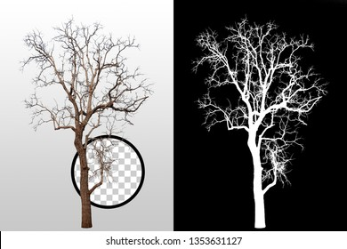 Isolated dry tree without leaves on white background with clipping path. Used in architectural design or Decoration work. Suitable for natural articles both on fine print and web page.