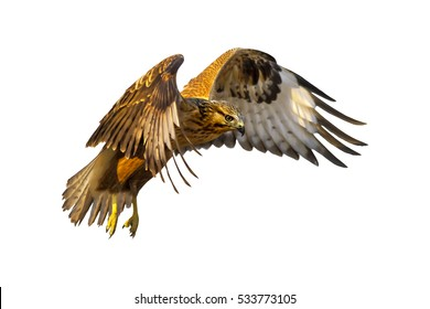 isolated eagle flying  on white background  high resolution and quality