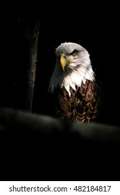 Isolated Eagle in Trees