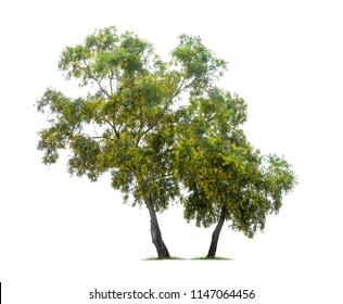 Isolated Earleaf acacia tree with yellow flower on white background