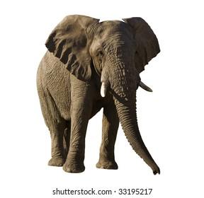 Isolated elephant bull