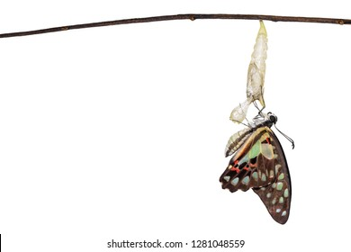 Isolated emerged Common jay butterfly ( Graphium doson)  with pupa and shell hanging on twig with clipping path, secure , growth , transformation